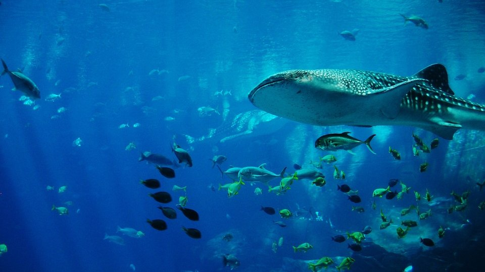 belize whale sharks