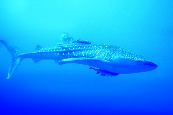 whale shark - Placencia