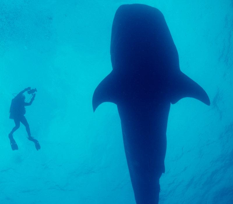 Belize diving- whaleshark