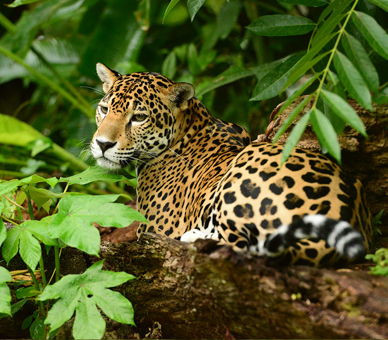 Belize Jungle & Nature Jaguar Tours