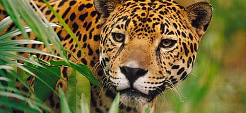 A-jaguar-coverjpg