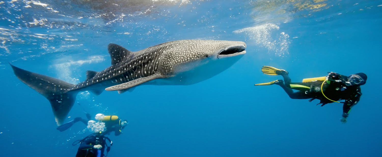 belize whale shark diving tours