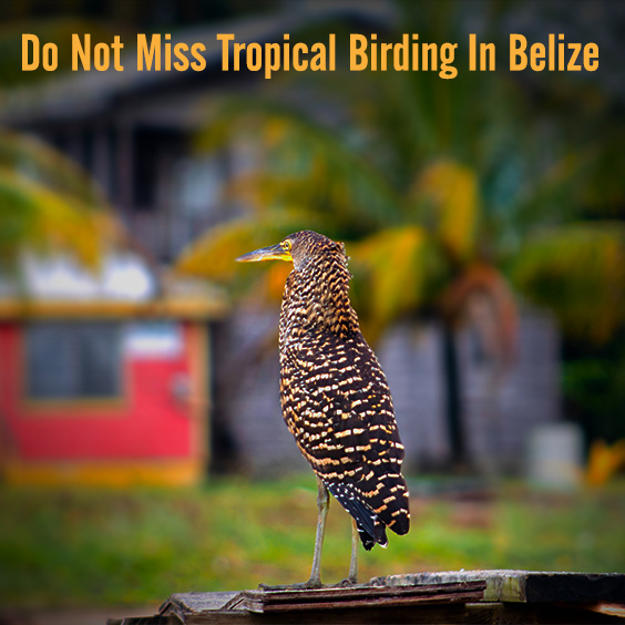 Do Not Miss Tropical Birding In Belize