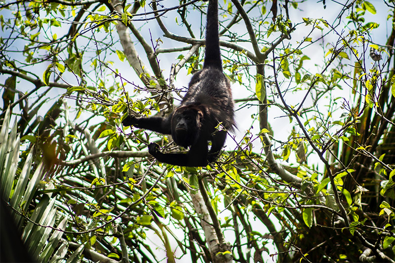 Howler Monkeys in Belize