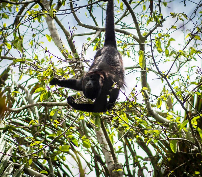 Belize Jungle tours - Howler Monkey