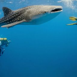 belize whale shark diving and snorkeling