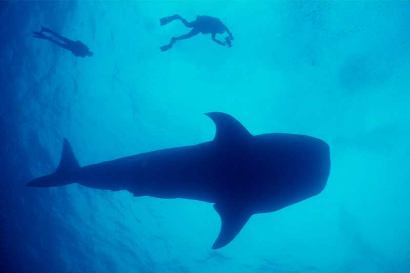 whale shark diving and snorkeling in belize