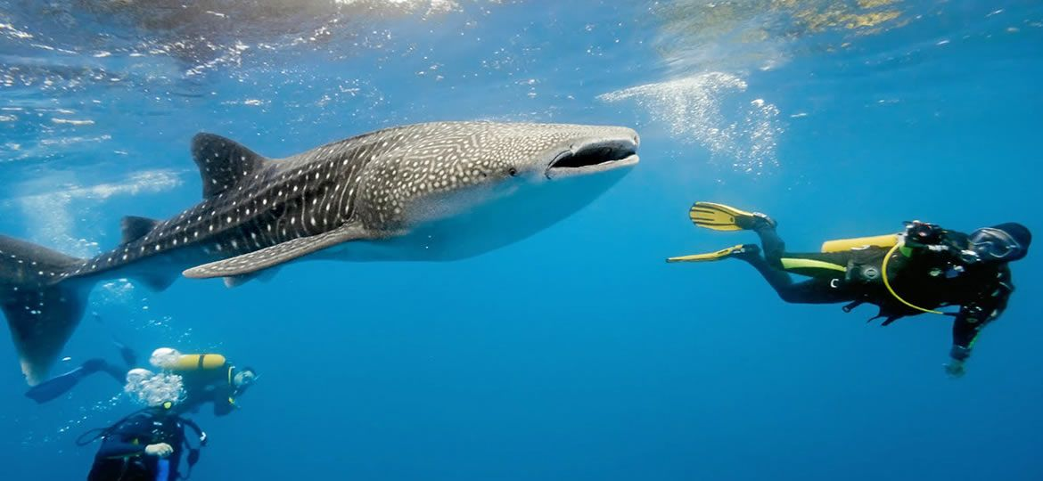 belize-whale-shark-adventure-featured