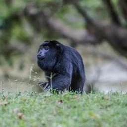 Belize Howler Monkeys